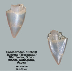 Carcharodon hubbelli (Enamel cone)