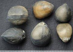 Rugitela biappendiculata lower Callovian Marnes de Donfront Degré France