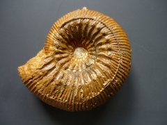 Stephanoceras (Stephanoceras) humphriesianum (Sowerby 1825)