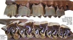 Rhino Upper Cheek Teeth