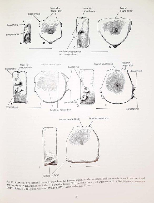 5ee2bdef969fc_Ichthyosaurvertebralshapes.thumb.jpg.1c2a92ede3242bd7af9d0ed6dbffc283.jpg