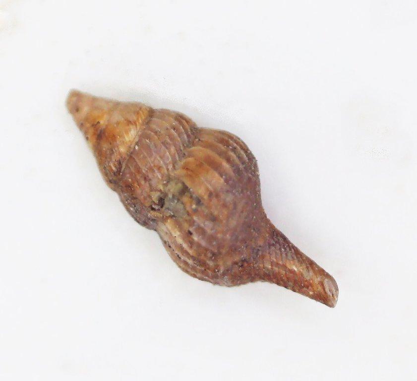 5ef8f9bb562de_Eucheilodonreticulata.thumb.jpg.87cfdc97095da489ddb34eb8fa85d58b.jpg