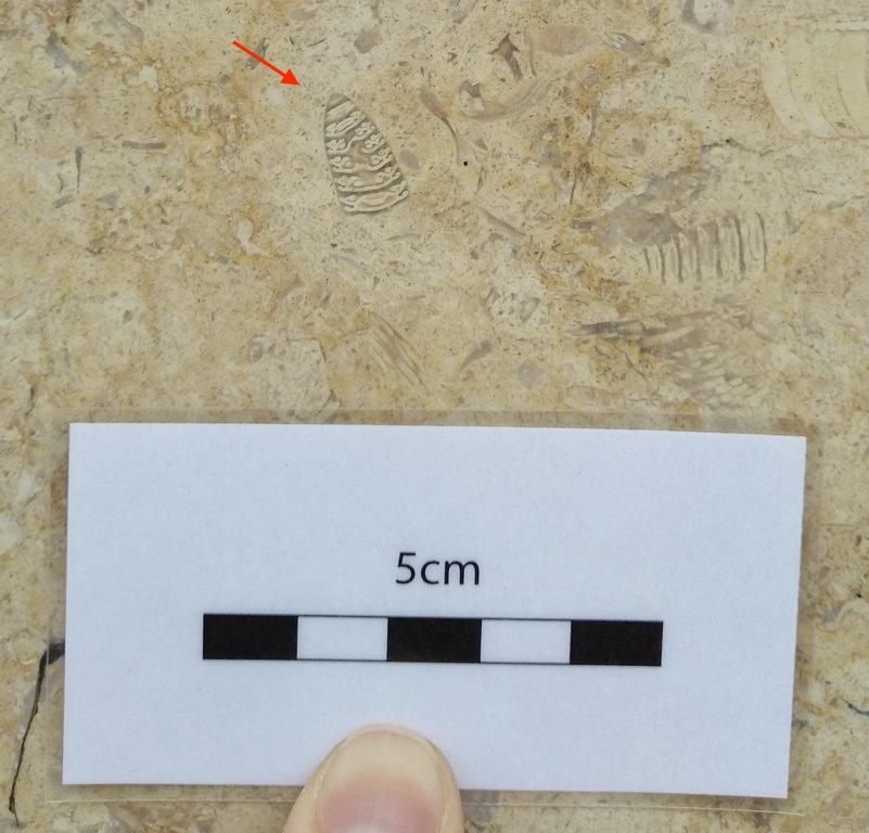 Fossil_ID_Donostia_1.thumb.jpg.b289fbf5b4301d7a48a9a8782847bdfd.jpg
