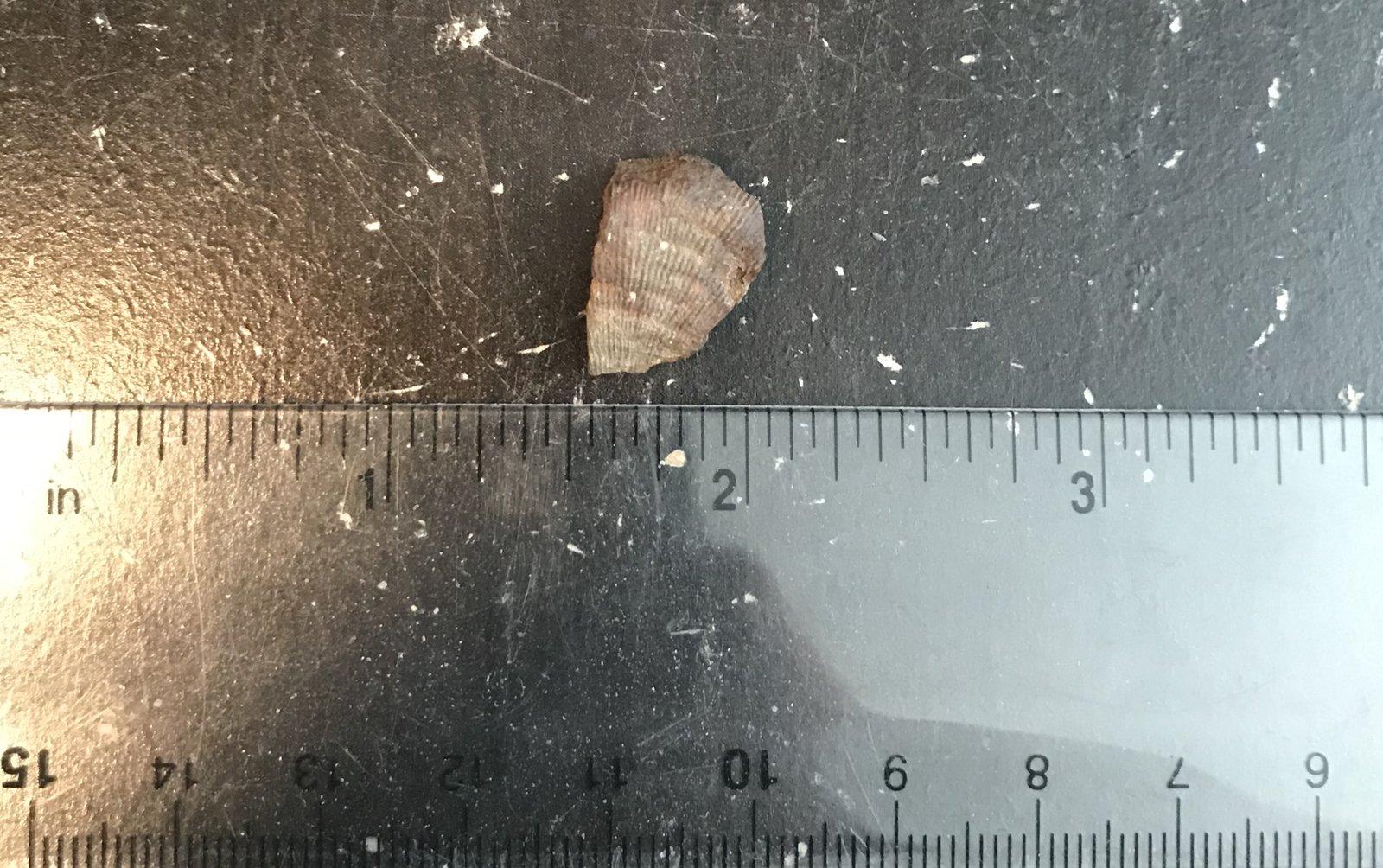 Pyritized brachiopod from the Kalkberg Formation