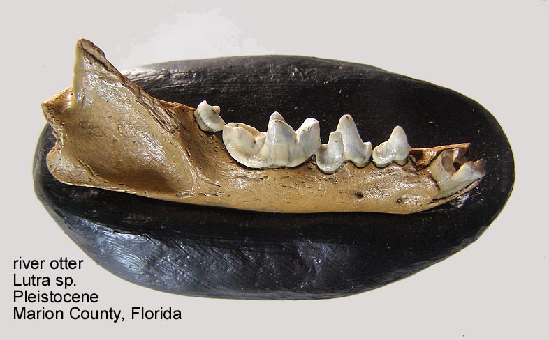 ottermandible.JPG