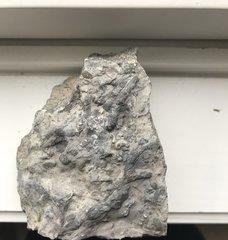 Unidentified bryozoan from the Kalkberg Formation