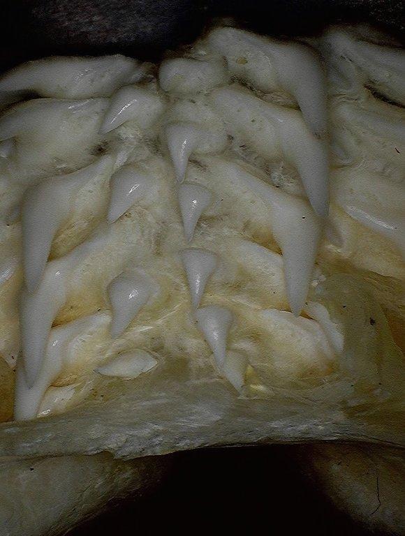 5efe38f77be57_Carcharhinusfalciformis(SilkyShark)1lowerjawsymphysisalalLingualview.thumb.jpg.d0ec8ea50be51e7608851cf71807b622.jpg