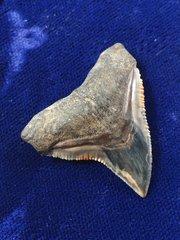 Monster Carcharhinus leucas Java