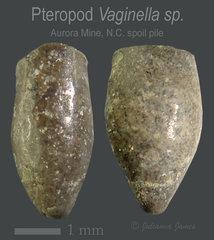 AB LC 2020 Pterapod vaginella sp..jpg