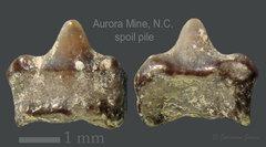 AB LC 2020 shark tooth 2.jpg