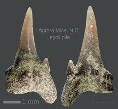 Aurora spoil pile fossils