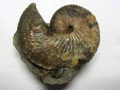 Hoploscaphites nicolletii (Morton 1842)