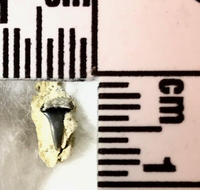 tooth.thumb.jpg.ceec9ceac55e80a914269ee3f1a2e9d2.jpg