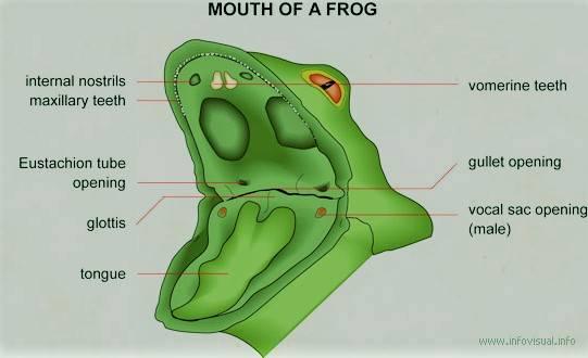 xfrogmouth.jpg.pagespeed.ic.yKBuZwYW9s.jpg