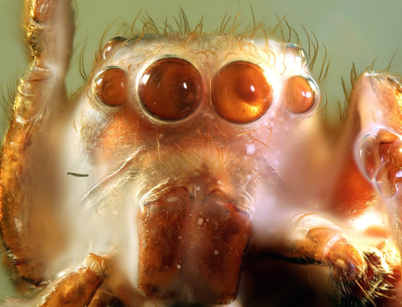 6000 Spectacular Colorful Salticidae Jumping Spider With Killer Eyes. 1.jpg