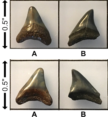 5f2b685fca0ab__Miocene_Alopiaslatidens.jpg.3c3f7d4de05e18a0e3d9ce65fd3f671c.jpg