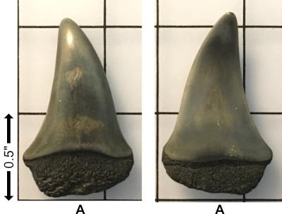 5f2b68700f108__Miocene_Carcharodonhastalis.jpg.79e40acf48875b0adb2978b06b4c403f.jpg
