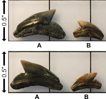 5f2b6877dfae3__Miocene_Galeocerdoaduncas.jpg.c67bd0b1d299868d34958b12a78f192a.jpg