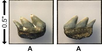 5f2b688a428e4__Miocene_Notorynchuscepedianus.jpg.bc539f19219654eadf0169d39a5b4f7b.jpg