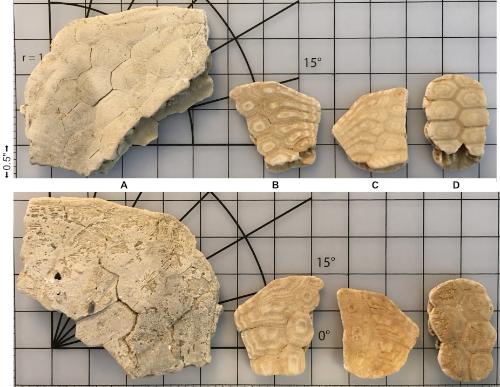 5f2b68f194764__Miocene_SandDollars.jpg.c62a2a3517e854ca7a047e8913c7d608.jpg