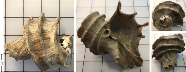 _Miocene_Ecphora.jpg.d07489db14211682877b9077d4021805.jpg