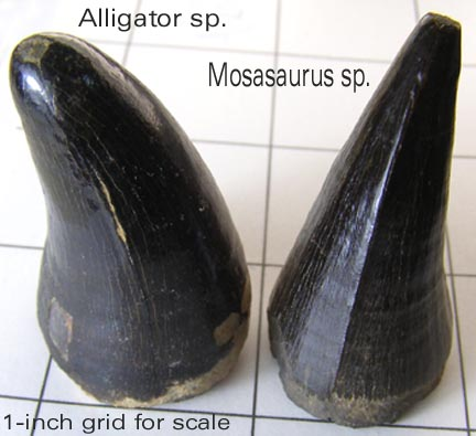 gatorvsmosasaurtoothB.jpg.a0bc4ad0e62e21cee622a8a1fe6eb913.jpg
