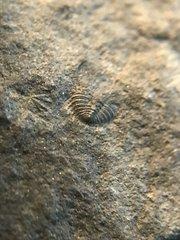 Another tiny greenops pygidium