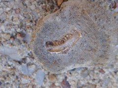 Campodus Tooth In Concretion