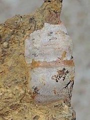Unidentified Possibly Cochliodus