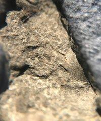 Very tiny greenops pygidium
