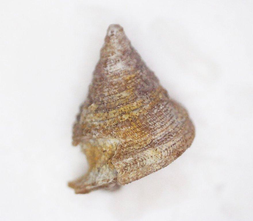5f53a978be803_GastropodPhymatopleura.thumb.jpg.32e4fe218fea40d79cab5f2555197b7b.jpg