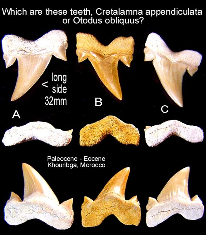5f6fd1887c75d_shark_cretalamnaorotodus.thumb.jpg.983bbd2795e4d496602e298a4ec0a9f1.jpg
