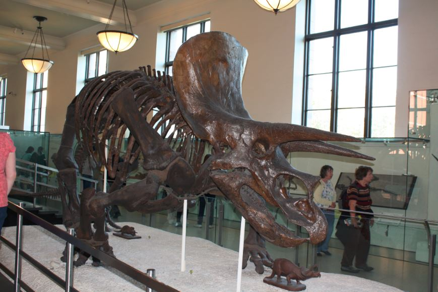 AMNH_Triceratops.JPG