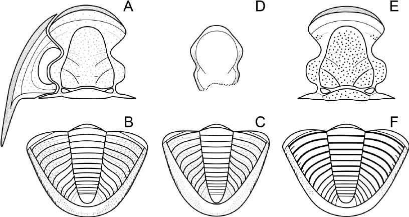 Reconstruction-of-cephalon-a-and-pygidium-b-of-Dechenella-givetensis-sp-n-pygidium.png.97cf0b6c227b6b81bfede7af6b4d7608.png