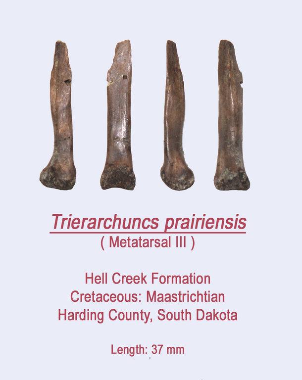 Trierarchuncus2.thumb.jpg.eaa8e1ec8ee1d1b2edad0049c47749d4.jpg