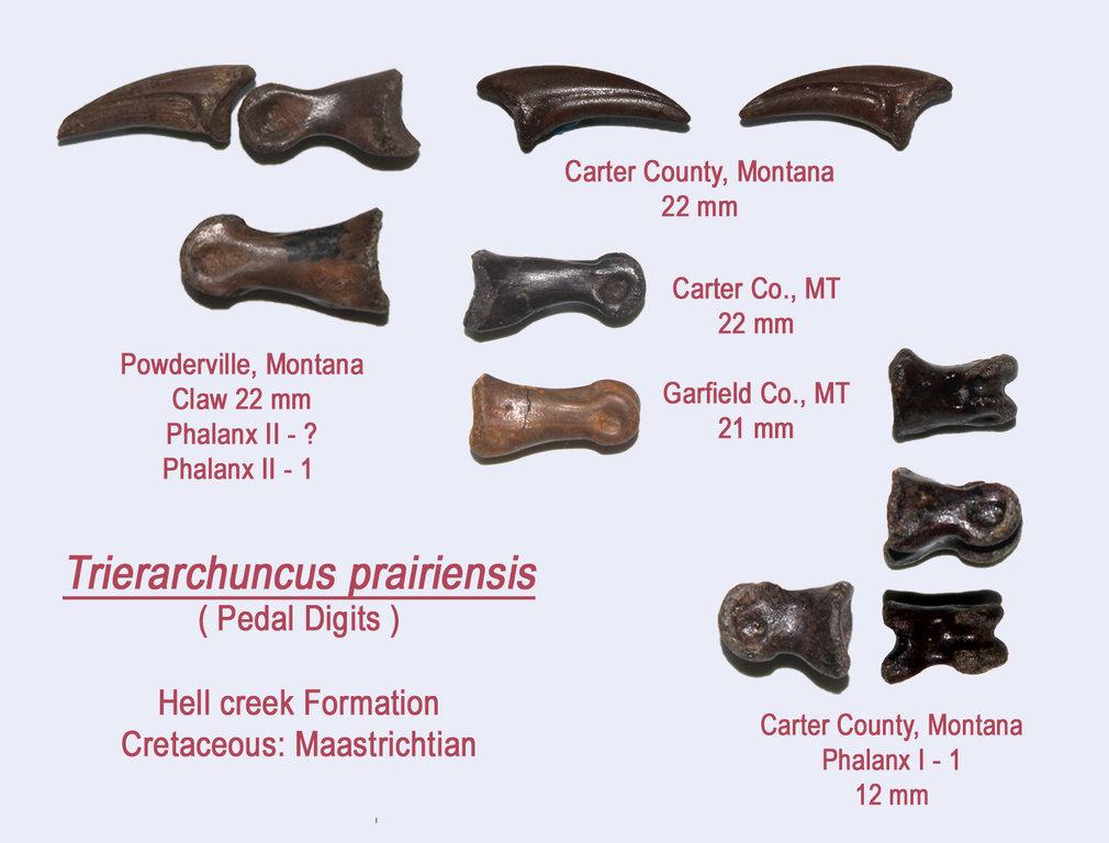 Trierarchuncus5.thumb.jpg.c445b120a793f53ab5ef6472a4b597e8.jpg