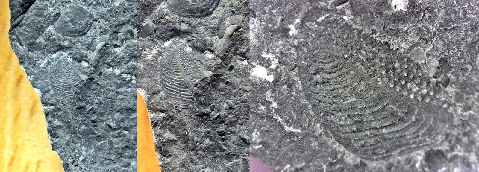 Turrilepas nitidulus - armored worm plate