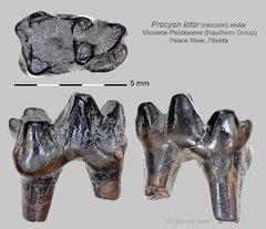 Raccoon molar.jpg
