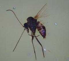 Phlebotomus sp. - Sandfly