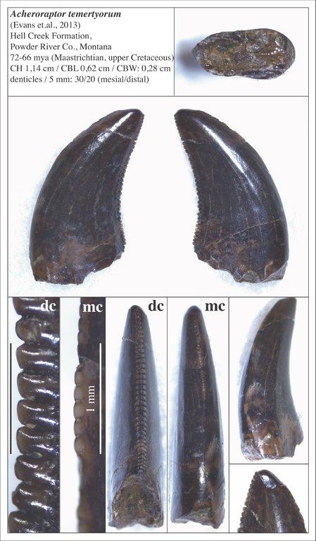 5f811adaee1e3_11_Acheroraptor.thumb.jpg.1745bc4cd841fcd9a4b1c8290639dd08.jpg