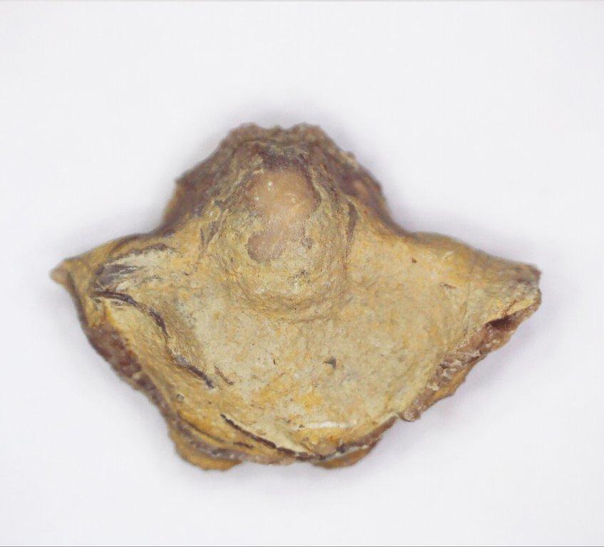 5f98d52269dba_GastropodCymatospiramontfortianusPalo(2).thumb.jpg.d04ddbd3f30af3ff307c5fb2fd1b2464.jpg