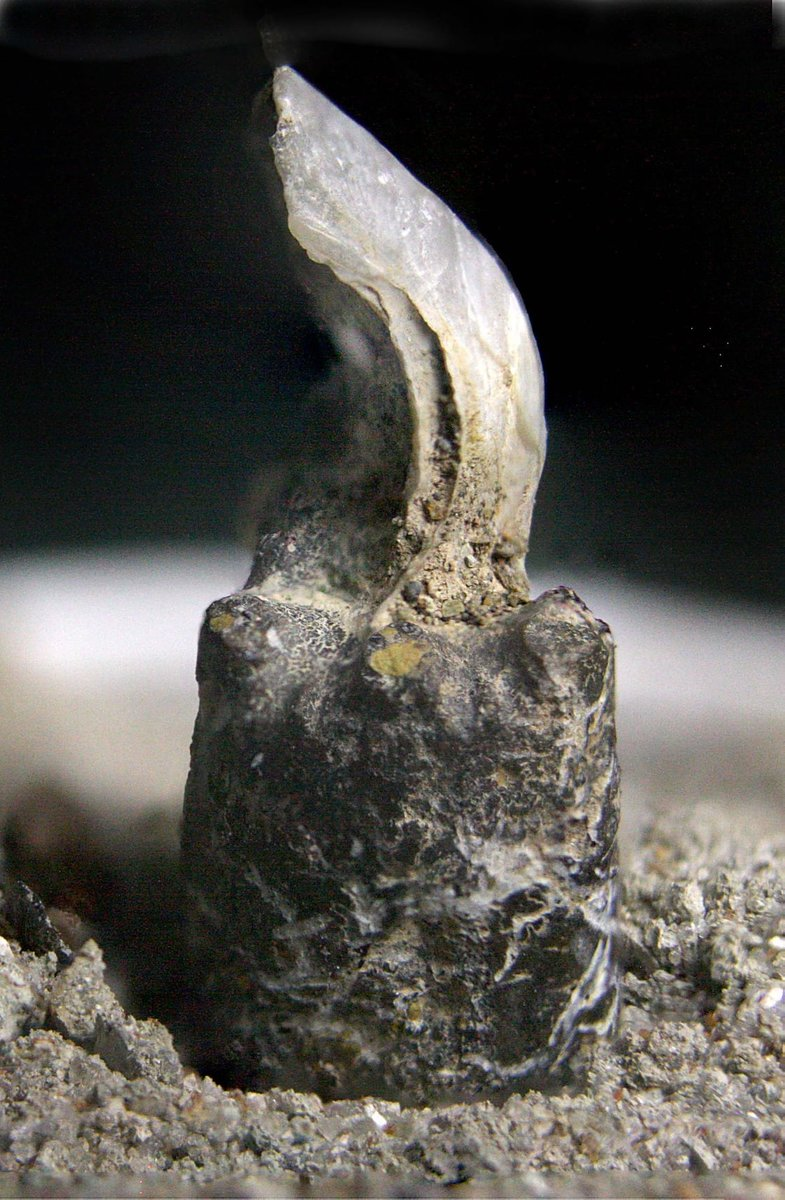 Shell Made its Own Pedistal