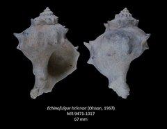 Echinofulgur helenae