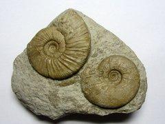 Parataxioceras sp. & Ataxioceras hypselocylum