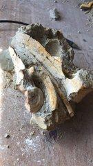 Portuguese Ammonites