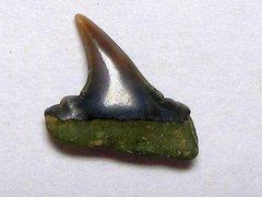 Carcharhinus priscus (Agassiz 1843)