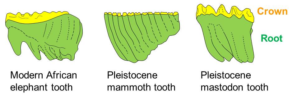 5fa1ca3999c0f_fossil-month-05-2018-mammoth-tooth3_elephanttoothdifferences.jpg.b3185712dba090ed0ec3efdae60cbda7.jpg
