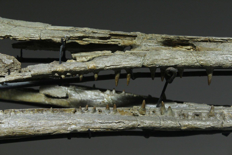 5fa2f0019c18c_Champsosauruslemoineijaws(back).thumb.jpg.b828643a4d915bb8aa20e4adb214cc87.jpg