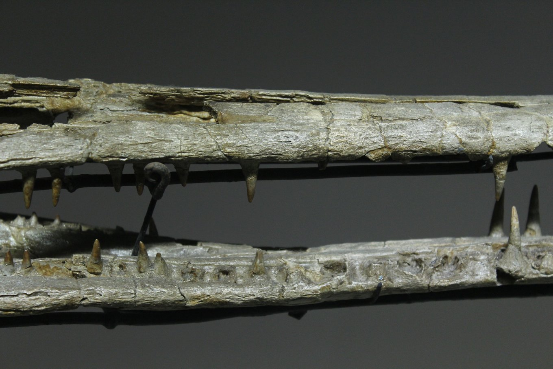 5fa2f0066c722_Champsosauruslemoineijaws(middle).thumb.jpg.b5f32bba2e7a4f07e39606fb1fa10c66.jpg