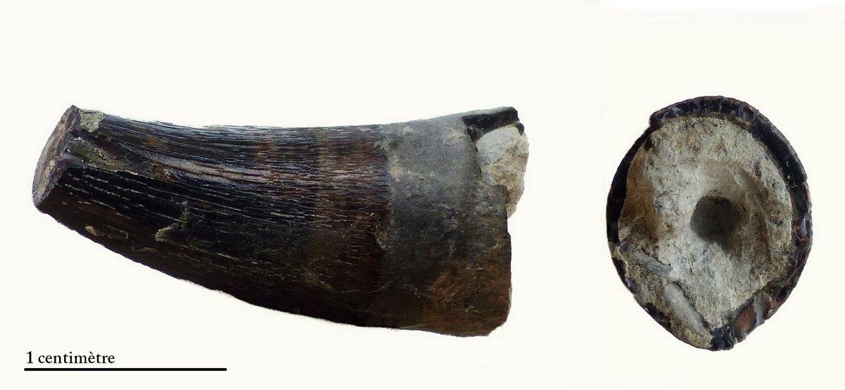 5fb63b34a4591_MetriorhynchusbrachyrhynchustoothMarnesdeDivesVillerssurMer01.jpg.3a419bba7a941b6e28d03edb40854a24.jpg